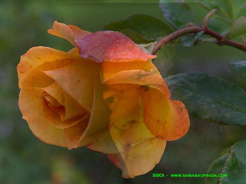 http://www.saibabaofindia.com/images/sai_rose_wp800.jpg
