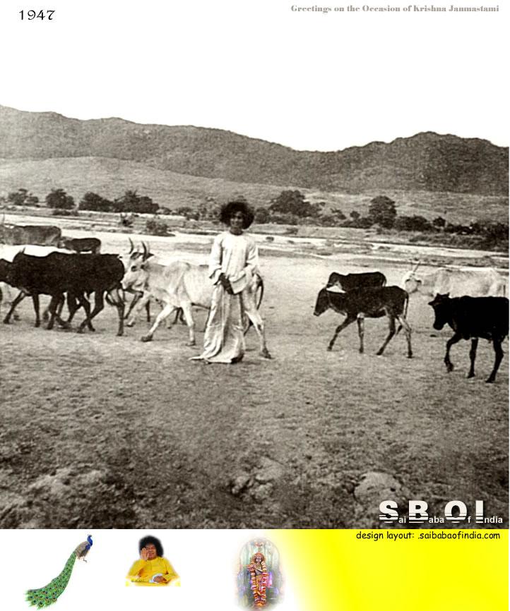 sai-baba-cows-puttaparthi-hills--chitravatr-river-rare-photo-year-1947.jpg